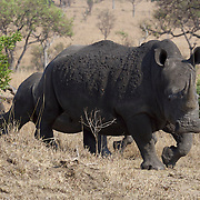 White rhino in Londolozi Game Reserve, South Africa