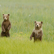 Two brown bear cubs looking into the distance in Alaska.