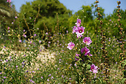 Bristly Hollyhock (Alcea setosa) Photographed in Israel in winter