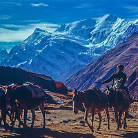 A horseman from Manang, Nepal ascends the Thorang La pass, with the Annapurna massif in the bkg.