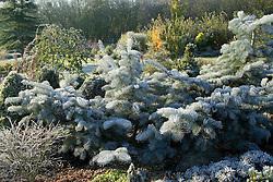 Abies concolor 'Violacea' in winter (Silver fir). Pruned to encourage spreading habit in John Massey's garden