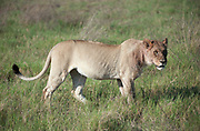 Lioness walking, shortly after a kill