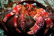 UNDERWATER MARINE LIFE CARIBBEAN, generic Hermit crab Dardanus venosus
