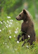 Eurasian Brown Bear, Ursus arctos.Suomussalmi, Finland