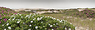 Masses of rugosa roses bloom around one of the Provincetown dune shacks.