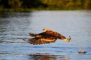 Fischender Fischbussard (Busarellus nigricollis) im Pantanal, Brasilien<br /> <br /> Fishing black-collared hawk (Busarellus nigricollis) in the Pantanal, Brazil