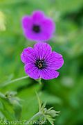 Geranium psilostemon - Hardy Geranium. Clover Cottage