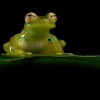 Emerald Glassfrog (Espadarana prosoblepon), male showing humeral spines for intraspecific combat. Mindo, Ecuador.