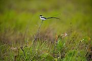 Fork-tailed Flycatcher (Tyrannus savana)<br /> Karanambu Lodge<br /> Rupununi<br /> GUYANA<br /> South America<br /> RANGE: Central Mexico to Argentina