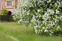 Blossom in the Orchard at Sissinghurst Castle Garden in spring