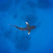 Oceanic Whitetip shark (Carcharhinus longimanus) in shallow water off Cat Island in The Bahamas.