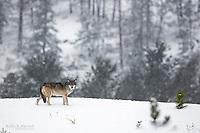 Wild wolf in Jasper National Park, Alberta, Canada