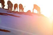 Vårflytting i Essand reinbeitedistrikt. Simleflokken passerer Øyfjellet i Tydal, på veg nordover mot kalvingsområdet og sommerbeitet i Roltdalen, Skarvene, Skarpdalen og Meråker. Going to summer pastures. Vårflytting i Saanti Sijte (Essand reinbeitedistrikt).