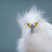 Snowy egret (Egretta thula) gets his feathers ruffled by waterfront breezes on Sanibel Island, FL. Image ranked as finalist (Top 55) in National Wildlife Refuge Association 2015 photography competition.