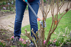 Pruning buddleia stems down to 45cm in early spring using loppers. Buddleia davidii 'Black Knight' - Butterfly bush