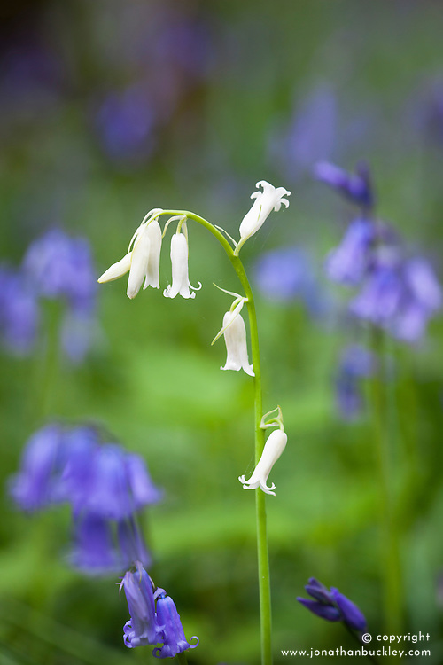 White Bluebell. Hyacinthoides non-scripta