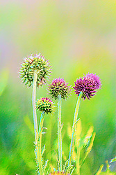 Spring Greens Around These Purple Thistles Atop a Grassy Mound in a Field