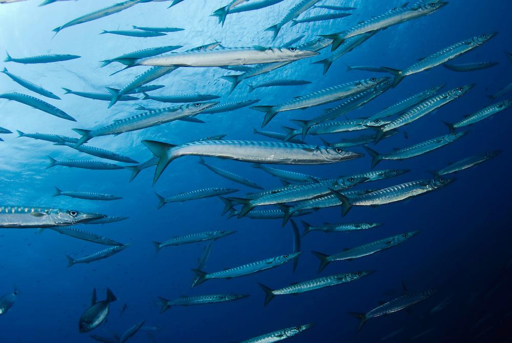 Striped Barracuda (Sphyraena viridensis) schooling<br /> France: Corsica, Lavezzi Islands, Perduto