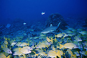 blacktip reef shark, Carcharhinus melanopterus, and common bluestripe snappers, Lutjanus kasmira, Moorea, French Polynesia ( South Pacific Ocean )