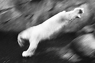 Deutschland, DEU, Berlin, 2000: Ein Eisbaer (Ursus maritimus) springt von einem Felsen ins Wasser, Berliner Zoo. | Germany, DEU, Berlin, 2000: Polar bear, Ursus maritimus, in jump, from a rock into the water, Zoo Berlin. |