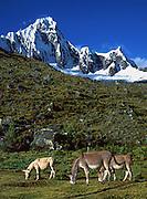 Mules graze below snowy Mount Taulliraju (19,100 feet) in Tingopampa Valley, near Punta Union Pass, on the Santa Cruz Trek in Huascaran National Park, Peru, South America. UNESCO honored Huascaran National Park on the World Heritage List in 1985. Cordillera Blanca mountain range is in the Sierra Central of the Peruvian Andes.