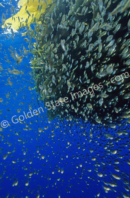 Various juvenile fish species are often seen under drift kelp.