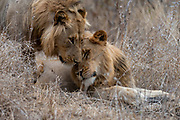 Young male lions (Panthera leo) in Knuger NP, South Africa.