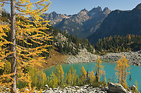 Subalpine Larch (Larix lyallii) in autumn at Lewis Lake, North Cascades Washington