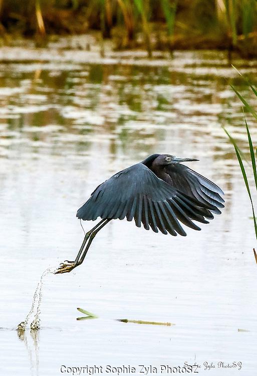 Little Blue Heron Take-off