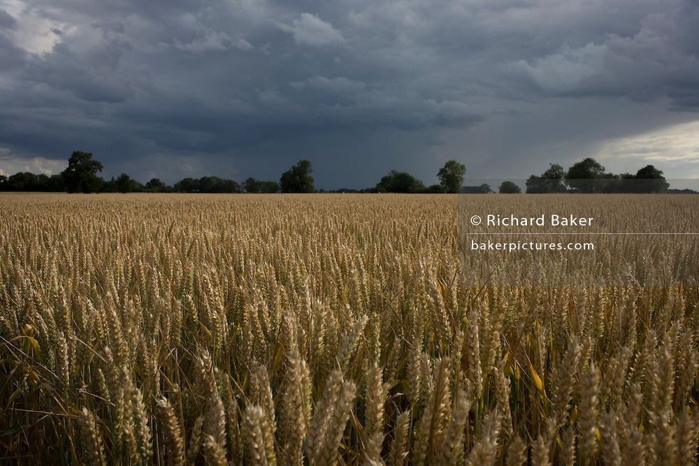Unharvested corn in a field with darkening skies and an approaching storm at Shipdam, Norfolk.