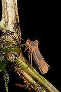 Planthopper (Proconia sp., Cicadellidae)<br /> Yasuni National Park, Amazon Rainforest<br /> ECUADOR. South America<br /> HABITAT & RANGE: