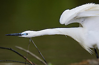 Little egret, Egretta garzetta, Danube delta rewilding area, Romania