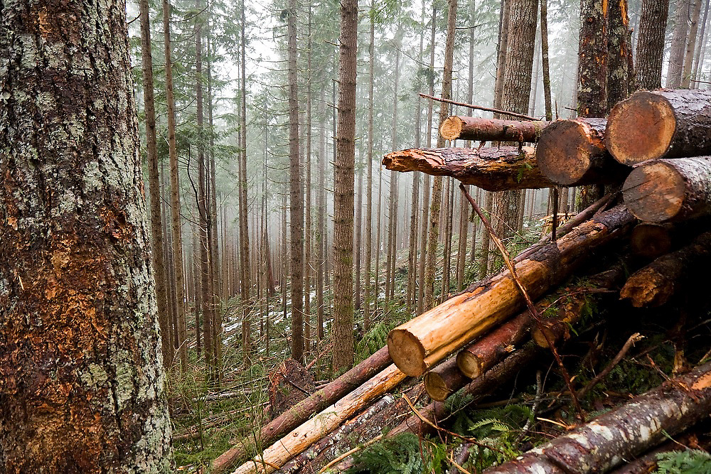 Cut timber is piled up at a thinning operation in Mount Baker-Snoqualmie National Forest, WA.