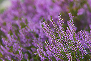 Blooming common heather (Calluna vulgaris) on sunny day on seacoast, Kurzeme, Latvia Ⓒ Davis Ulands   davisulands.com