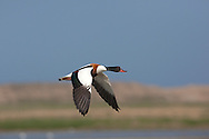 Shelduck Tadorna tadorna L 55-65cm. Goose-sized duck with bold markings. In poor light, looks black and white. In flight, note contrast between white wing coverts and black flight feathers. Sifts mud for small invertebrates. Nests in burrows. Sexes are separable with care. Adult male is mainly white but with dark green head and upper neck (looks black in poor light), chestnut breast band, black belly stripe and flush of orange-buff under tail. Legs are pink and bill is bright red with knob at base. Adult female is similar but bill's basal knob is much smaller. Juvenile has mainly buffish grey upperparts and white underparts. Voice Courting male whistles while female's call is a cackling gagaga… Status Common on most estuaries and mudflats; local at inland freshwater sites. Migrates to favoured sites like Bridgwater Bay in Somerset for summer moult.
