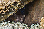A large male puma (Puma con color) also known as a mountain lion or cougar,  peers out with glaring eye contact from a cave, Patagonia, Torres del Paine, Chile, South America