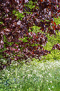 Cow Parsley - Anthriscus sylvestris, blooming in springtime and Maple Tree - Acer - broadleaf deciduous tree in full leaf, UK