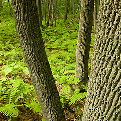 Ferns cover the forest floor at the Pell Farm in Grafton, Massachusetts.