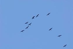 Aalscholver, cormorant, Phalacrocorax carbo