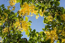 Cassia fistula, Golden Shower Tree #10