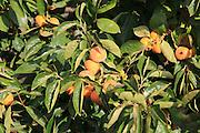 Persimmon, Diospyros kaki or Sharon fruit growing on tree, Marina Alta, Alicante province, Spain