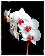 Dedham, MA 08/28/2014<br /> Phalaenopsis Orchids, photographed in the studio on a 4x5 view camera.<br /> Alex Jones / www.alexjonesphoto.com
