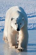 Adult polar bear walking on ice at surface of frozen pond  Ursus maritimus, Hudson Bay, Canada