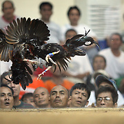 THE PHILIPPINES (Manila). 2009. Two game cocks, each with three inch razor sharp blades fastened to their left ankles fight to the death as spectators watch at the Makati, Makati City, Manila. Photo Tim Clayton <br /> <br /> Cockfighting, or Sabong as it is know in the Philippines is big business, a multi billion dollar industry, overshadowing Basketball as the number one sport in the country. It is estimated over 5 million Roosters will fight in the smalltime pits and full-blown arenas in a calendar year. TV stations are devoted to the sport where fights can be seen every night of the week while The Philippine economy benefits by more than $1 billion a year from breeding farms employment, selling feed and drugs and of course betting on the fights...As one of the worlds oldest spectator sports dating back 6000 years in Persia (now Iran) and first mentioned in fourth century Greek Texts. It is still practiced in many countries today, particularly in south and Central America and parts of Asia. Cockfighting is now illegal in the USA after Louisiana becoming the final state to outlaw cockfighting in August this year. This has led to an influx of American breeders into the Philippines with these breeders supplying most of the best fighting cocks, with prices for quality blood lines selling from PHP 8000 pesos (US $160) to as high as PHP 120,000 Pesos (US $2400)..