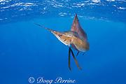 Atlantic sailfish, Istiophorus albicans, off Yucatan Peninsula, Mexico ( Caribbean Sea ) (dm)