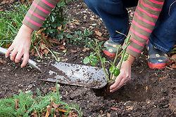 Planting a bare root rose - checking crown is level with the top of the soil