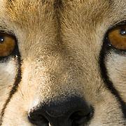 Close up of cheetah eyes. Kenya, Africa