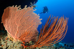 Subergorgia sp.und Ellisella sp., Korallenriff mit Riesengorgonienfaecher und Besengorgonie und Taucher, Coralreef with Giant seafan and Sea whip Coral and scuba diver, Malediven, Indischer Ozean, Baa Atoll, Maldives, Indian Ocean