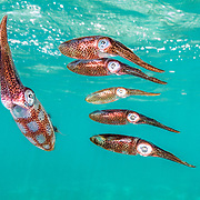 Caribbean reef squid (Sepioteuthis sepioidea) form a school, known as a squad, off Eleuthera, Bahamas.