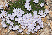 """Spreading phlox / Phlox diffusa flowers bloom on the Pacific Crest Trail at Cutthroat Pass, North Cascades mountain range, Okanagon National Forest, Washington, USA. Phlox (pronounced """"flocks,"""" from the Greek word for """"flame"""") is a genus of perennial and annual plants in the family Polemoniaceae. Phlox are found mostly in North America (one species in Siberia) in diverse habitats from alpine tundra to open woodland and prairie."""
